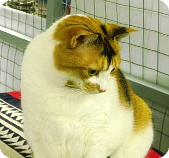 Domestic Shorthair Cat for adoption in Mission, British Columbia - Salsa