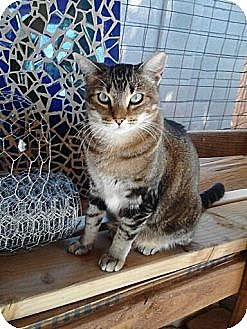Abyssinian Cat for adoption in Mesa, Arizona - Sodapop