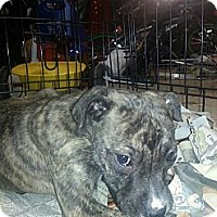 Adopt A Pet :: Sophia - South Jersey, NJ