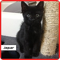 Adopt A Pet :: Jaguar - Miami, FL