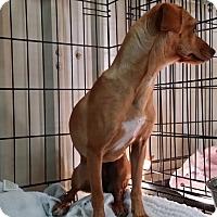 Adopt A Pet :: DARLA - Lubbock, TX