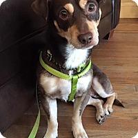 Adopt A Pet :: Chip - Brooklyn, NY