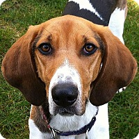 Coonhound Mix Dog for adoption in Surrey, British Columbia - Annie