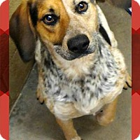 Adopt A Pet :: Beaux - Benton, AR
