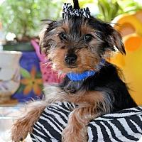 Adopt A Pet :: Scooby - Pueblo, CO