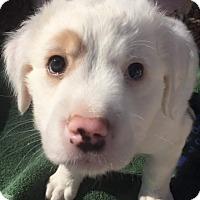 Adopt A Pet :: Caspian - Henderson, NV