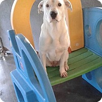 Dalmatian/Boxer Mix Dog for adoption in Virginia Beach, Virginia - ELSA
