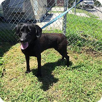 Labrador Retriever Mix Dog for adoption in Concord, North Carolina - Eisa