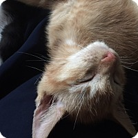 Domestic Shorthair Kitten for adoption in Tampa, Florida - Cab