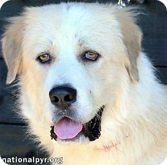 Great Pyrenees Mix Dog for adoption in Beacon, New York - Bernie in NY - pending