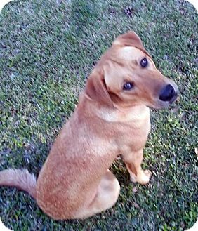 Labrador Retriever Mix Dog for adoption in Alvin, Texas - Samantha
