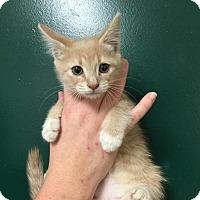 Domestic Mediumhair Kitten for adoption in Washington, D.C. - Amy