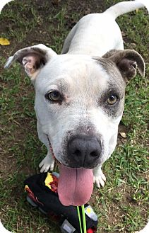 Pit Bull Terrier Mix Dog for adoption in Weatherford, Texas - Lily