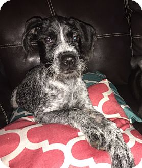 German Shorthaired Pointer Mix Puppy for adoption in Fenton, Missouri - Wesson