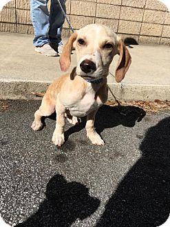 Beagle Mix Puppy for adoption in Alpharetta, Georgia - AdamLevine