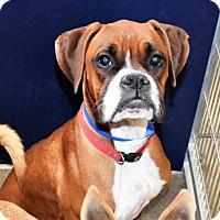 Adopt A Pet :: Boxer male - San Jacinto, CA