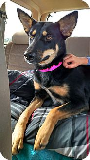 German Shepherd Dog/Border Collie Mix Dog for adoption in Black Forest, Colorado - Sedona