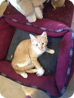 Domestic Shorthair Cat for adoption in Hartland, Michigan - Orange Crush