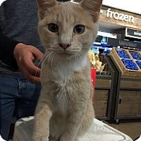 Domestic Shorthair Cat for adoption in Warren, Michigan - Jake