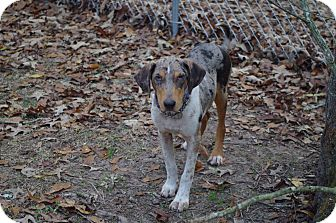 Catahoula Leopard Dog Mix Dog for adoption in Vidor, Texas - Dickie