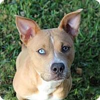 Adopt A Pet :: Ginny - Houston, TX