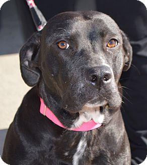 Labrador Retriever Mix Dog for adoption in CRANSTON, Rhode Island - Georgia