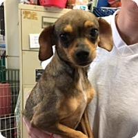 Adopt A Pet :: PENSI - Elk Grove, CA