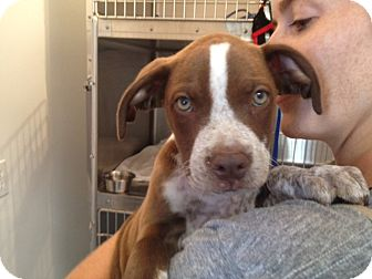Pit Bull Terrier/Pointer Mix Puppy for adoption in Los Angeles, California - Moose
