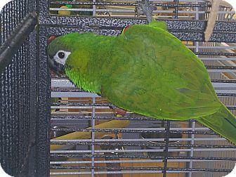 Macaw for adoption in Punta Gorda, Florida - Bennie