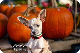 Chihuahua Puppy for adoption in Henderson, North Carolina - Rascal