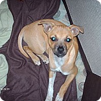 Chihuahua/Italian Greyhound Mix Dog for adoption in Franklin, Indiana - Chloe