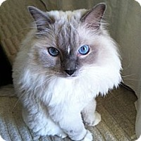 Adopt A Pet :: Andy - Laguna Woods, CA
