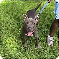 Adopt A Pet :: Obama - Raymond, NH