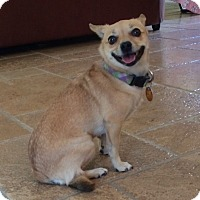 Adopt A Pet :: BETINA, sweet PomChi - Irvine, CA