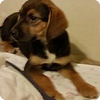 Adopt A Pet :: Olivia - Detroit, MI