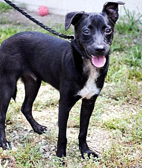 Terrier (Unknown Type, Medium)/Chihuahua Mix Dog for adoption in Thibodaux, Louisiana - Ruger K91-7774