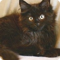 Adopt A Pet :: Kramer (Black Bear Cub!) - Arlington, VA