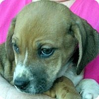 Adopt A Pet :: Aggie - Germantown, MD