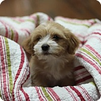 Adopt A Pet :: Gingersnap - Austin, TX