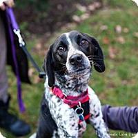 Adopt A Pet :: Dapple (Has application) - Washington, DC