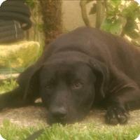 Labrador Retriever Dog for adoption in Austin, Texas - Archy