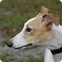 Adopt A Pet :: Syria - Longwood, FL