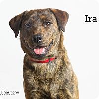 Adopt A Pet :: Ira - Chandler, AZ