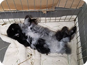 Jersey Wooly Mix for adoption in Fountain Valley, California - Blackberry