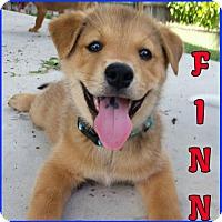 Adopt A Pet :: Finn - Carrollton, TX