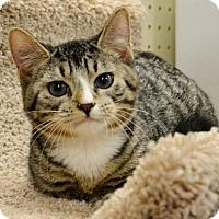 Domestic Shorthair Kitten for adoption in Horn Lake, Mississippi - Max