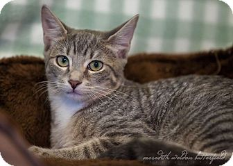 Domestic Shorthair Kitten for adoption in Flower Mound, Texas - Hannah