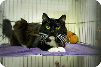 Domestic Longhair Cat for adoption in Casa Grande, Arizona - Kisses