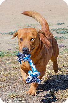 Dachshund/Labrador Retriever Mix Puppy for adoption in Anaheim, California - Oliver