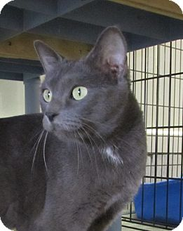 Domestic Shorthair Cat for adoption in Jackson, Missouri - Liza